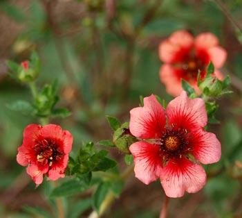 Perennials: Potentilla Miss Wilmott