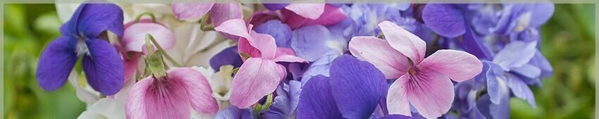 Perennials: Sweet Violets