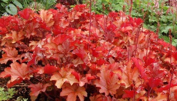 Perennials: Heuchera Peach Flambe
