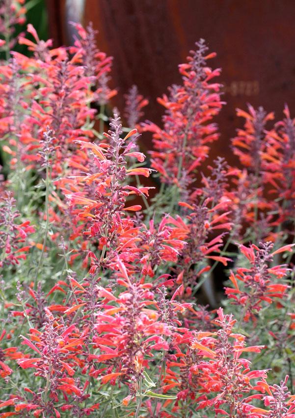 Perennials: Agastache rupestris