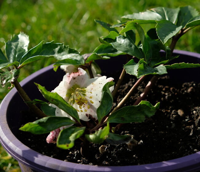 Perennials: Hellebore white