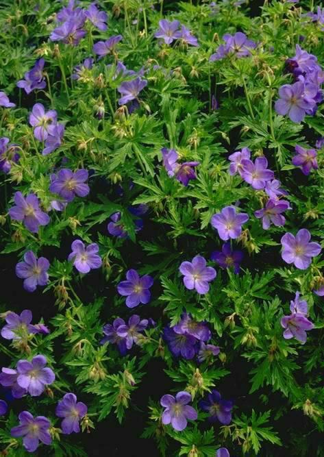 Perennials Hardy Geranium Johnson's Blue