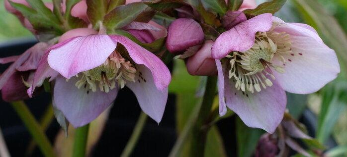 Perennials: Hellebore Pink Freckles